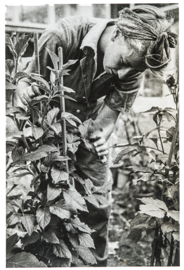 A member of the Women's Land Army examines an experimental plant at the Potato Virus Research Station (ca. 1940s).